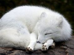 The ever new collection of arctic fox animal wallpapers