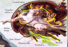 Michelangelo was dissecting cadavers & studying anatomy by age 17. So it should come as no surprise that several anatomical features are evident in The Sistene Chapel fresco. The figure of god reaching out to Adam is an accurate depiction of the human brain. But what message was he trying to send? That human intellect is the true divinity? That god is a creation of man's mind? His contempt for the Pope & church is well known & there are several secret messages & insults he placed in his…