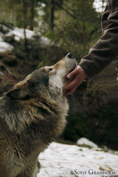 Oh how I wish I was that person in the picture! Thanks to wolves, we have dogs! Beautiful Creatures, Animals Beautiful, Animals And Pets, Cute Animals, Wild Animals, Wolf Love, She Wolf, Beautiful Wolves, Mundo Animal