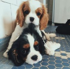 Cute Dogs And Puppies, I Love Dogs, Doggies, Cavalier King Charles Dog, Cavalier King Spaniel, King Charles Puppy, King Charles Spaniel, Spaniel Puppies, Cute Little Animals