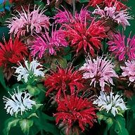 Bee Balm -- Hummers love'm
