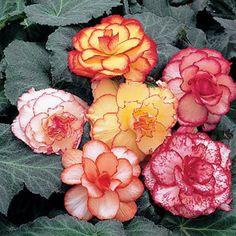 Spring Hill Nursery Mixed Picotee Begonia Bulb - Set of 10 Begonia, Spring Hill Nursery, Full Sun Perennials, Shade Perennials, Bulbs For Sale, Heuchera, Bulb Flowers, Daffodil Bulbs, Pergola Shade