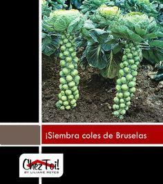 ¿Has visto la curiosa forma de la planta de coles de Bruselas? Una excelente opción para sembrar en tu jardín.