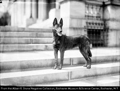"This ""Holland police dog"", owned by Police Lieutenant William J. Otto [not pictured, Rochester Police Department] of the Joseph Avenue Station, is an entrant in the 1924 Rochester Industrial Exposition dog show. The large dog stands on the stone steps of a large building."