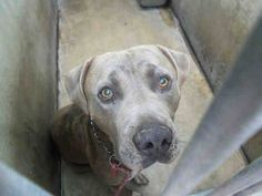 STILL ALIVE AT CLOSING TIME 10/31/13 URGENT EUTH LISTED! Needs rescue commitment by 8AM tomorrow morning. Share/tag for rescues! Needs pledges and a foster to save! At Orange County Shelter, CA A1283476 M 3 Years GRAY PIT BULL 10/23/2013  OC ANIMAL CARE, 561 The City Drive South, Orange, CA 92868, 714-935-6848