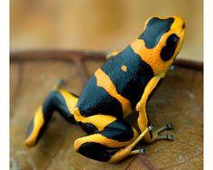 Rana venenosa (Ranitomeya summersi). Los anfibios son uno de los grupos más amenazados,  y son vigilados de cerca por la UICN - 26 anfibios descubiertos recientemente han sido añadidos a la Lista Roja de UICN.