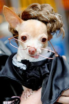 This weekend, at the Times Square Dog Day Masquerade, Peanut the chihuahua dressed up as Judge Judy. Chihuahua Art, Long Haired Chihuahua, Cute Puppies, Cute Dogs, Dogs And Puppies, Funny Animal Pictures, Funny Animals, Pictures Of Chihuahuas, Judge Judy