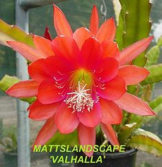 Epiphyllum, VALHALLA, 5 Gallon, FREE SHIPPING, Orchid Cactus, Green Healthy Stems, 2+Rooted Plant(s).