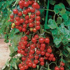 Tomato Seeds, Beta Carotene, Medicinal Plants, Growing Vegetables, Cherry Tomatoes, Herbalism, Fruit, Gardening, Health