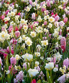 'Oslo' Bulb Mix | Specials from Bakker Spalding Garden Company