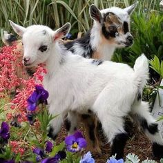 only-cute-animals: Baby goats