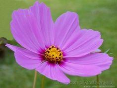 Flores do Meu Jardim.. (Púrpura.. )