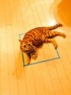 これがリアル「猫ホイホイ」か……! 四角を箱だと認識する猫ちゃんが想像以上のくつろぎポーズを披露