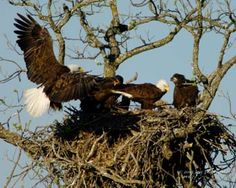 Eagles nest near Llano TX Only In Texas, Eagle Nest, Loving Texas, Texas History, Texas Hill Country, Bird Feathers, Pet Birds, At Least, Bald Eagles