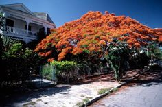 Poincianas in bloom on Southard Street: Key West, Florida | Flickr - Photo Sharing!
