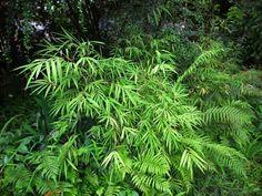 Bamboo Seeds Catalog — มีเมล็ดพันธุ์ไผ่จำหน่าย: BORINDA as FARGESIA FUNGOSA — SEEDS AVAILABLE