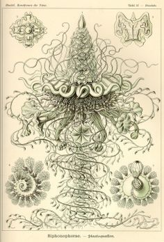 The Siphonophorae or Siphonophora, the siphonophores, are an order of the Hydrozoa, a class of marine animals belonging to the phylum Cnidaria. Although a siphonophore appears to be a single organism, each specimen is actually a colony composed of many individual animals. Print