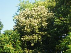 Linden Tree - I have to have this but I don't know where hubby would let me plant it.