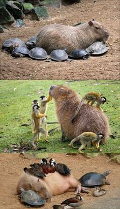 Why Do Small Creatures Love Capybaras so Much?