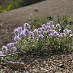 Thymus incertus Klokov Seeds For Sale, Nursery, Plants, Baby Room, Flora, Child Room, Project Nursery, Baby Rooms, Plant