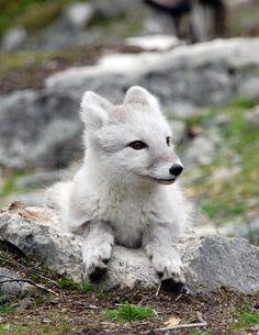 Arctic Fox by GrayeyesStock on deviantArt
