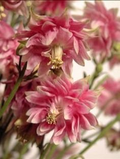 Aquilegia 'Nora Barlow' Columbine  Fully double blooms resemble small dahlias with petals of red and pink with either white or light green margins.