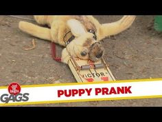 Puppy Killed By Mouse Trap Prank - #funny #prank #Chihuahua
