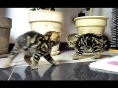 Oh you think walking sideways makes you look big and scary? Newsflash! Your siblings are all the same size as you...lol! - Funny dancing fighting kittens-Video