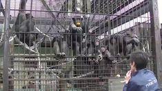 Phoenix zoo  Chimpanzee 宮崎市 フェニックス自然動物園 道具を使うチンパンジー