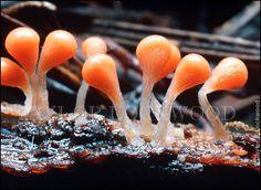 Hemitrichia sp.