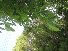 Spring is here! Our chestnut trees are in bloom!