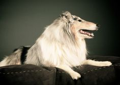 In the Studio: Charlie the Collie
