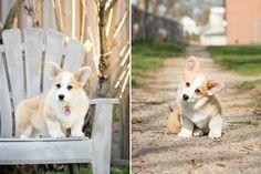 welsh corgi puppy.. dual portrait