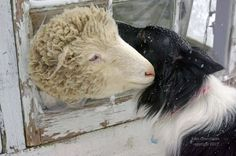 Home - Sweet Pea & Friends Adorable Animals, Animals Beautiful, Animal Pictures, Goats, Sheep Dogs, Lambs, Sweet, Friends, Cutest Animals