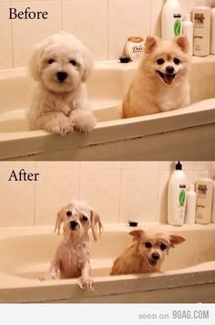 LOL! This reminds me of how Domino looks in her bath! Super poofy to drowned rat!