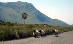 Irish roadblock: It's lots of fun driving around the Beara Peninsula in County Cork of western Ireland, but traffic is occasionally held up by slow-moving sheep. Sheep along the road in Connemara.