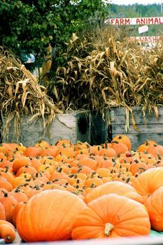 Fall pumpkins and cornstalks...we use to cut all the cornstalks by hand then one day we purchased an antique cornstalk binder...cool