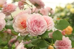 Beautiful Roses from David Austin Roses. This pretty rose is bred by David Austin and named Rosa 'James Galway'. Pretty Roses, Beautiful Roses, Cut Flowers, Pink Flowers, James Galway, David Austin Roses, Chelsea Flower Show, Pastel Shades, Slug