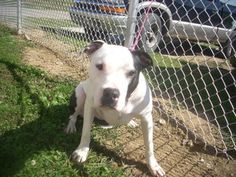 URGENT!!!! JACKSON $18 to approved home ...AKRON/CARROLLTON, OHIO>>># 2 URGENT! ( JACKSON,NEUTERED, 11 MONTHS ) is an adoptable Pit Bull Terrier Dog in Carrollton, OH. Available for a limited time from the Carroll County Dog Pound, 2185 Kensington Rd. NE, Route 9, Car...