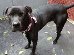 GONE --- TO BE DESTROYED - 10/27/14 Manhattan Center   My name is SPARKY. My Animal ID # is A1018268. I am a male black and white pit bull mix. The shelter thinks I am about 2 YEARS   I came in the shelter as a STRAY on 10/21/2014 from NY 10467, owner surrender reason stated was STRAY  https://www.facebook.com/photo.php?fbid=893985870614293 +++++++CALM & GENTLE+++++++++
