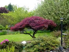 Crimson Queen Japanese Maple    JUST PLANTED OURS-- HOPE IT LOOKS THIS GOOD GROWN!!