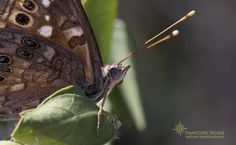 """""""butterfly dreams"""" – Empress Leilia ©R.C. Clark: Dancing Snake Nature Photography All rights reserved Sabino Canyon #arizona, #nature,  #photography, #dancingsnakenaturephotography, #insects, #butterflies, #lepidoptera, #EmpressLeilia, #SabinoCanyon"""
