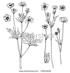 Wildflowers. Buttercups. Flowers line drawn on watercolor background. Vector sketch. Set of floral elements. Wedding decorations.