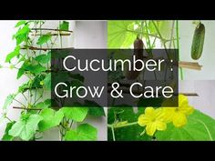 Cucumber: Growing & Caring // Garden Up This summer, plant a cucumber in your container garden. It is a fast growing climber that starts fruiting within two months and you can harvest fruits for about 2 … source Cucumber Plant, Cucumber Water, Succulent Arrangements, Succulents, Fast Growing Climbers, Bitter Cucumbers, Emily Videos, Climber Plants, Cheap Plants