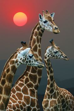 three exquisite giraffes and the sun