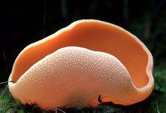 Aleuria aurantia   Common Name: Orange Cup  © Taylor F. Lockwood