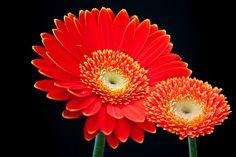 Gerbera, Flor, Verano, Para Tí, Flores Cortadas