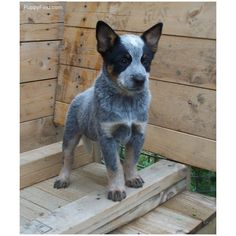 Australian Cattle Dog... This one!