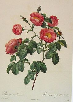 Redoute Roses 2 | Flickr - Photo Sharing!