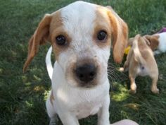 Grace is an adoptable Beagle Dog in Plainfield, IL. Meet Grace! Grace, along with her two sisters, were rescued from a high kill shelter in Kentucky. They are approximately 9 week old beagle mixes and...